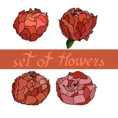 Set of flowers, vector from peones.