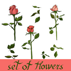 Set of flowers, vector from roses.