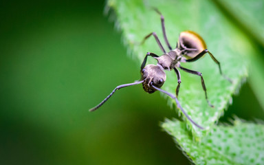 Macro ant portrait,Black ant on green leaves and green nature background.