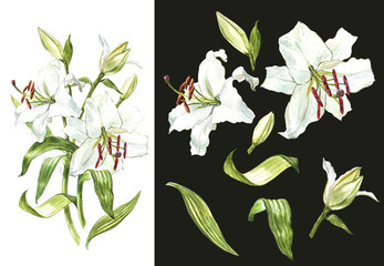 Watercolor set of white lilies, hand drawn botanical illustration of flowers on a dark background.