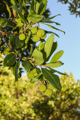 Closeup view of a branch with round green fruits. The focus is on the branch of a tree. In the background, blue sky and green leaves are visible on the other trees.