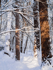 Photo of snowy trees in woods