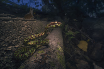 Pit viper snake (Trimeresurus venustus) by a road, Krabi, Thailand