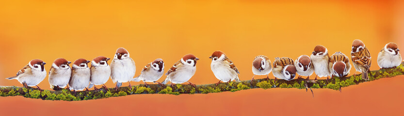 Wall Mural - panoramic banner of a lot of funny little birds sparrows on a branch inthe garden  on a Sunny day