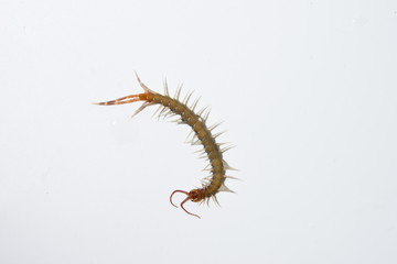 centipede on white background isolated