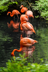 Rode flamingo uit Zuid-Amerika