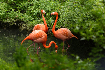Aluminium Prints Flamingo Red flamingo from south America