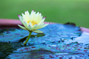 lotus, waterlily