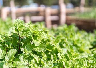 Peppermint plant grown in vegetable garden