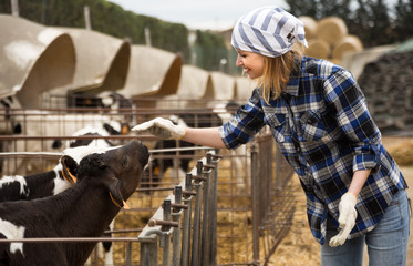 Female technician working with milky cows in cowhouse outdoors