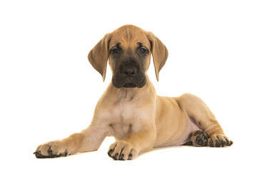 Pretty yellow great dane puppy lying down looking at the camera isolated on a white background