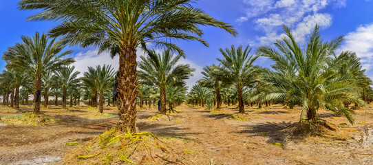 Panoramic image of plantation of date palms that have an important place in advanced desert agriculture in the Middle East