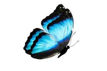 Бабочка с большими голубыми крыльями в полете, изолирована на белом фоне