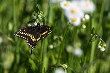 Black Butterfly and Wild Flowers in Pearland, Texas!