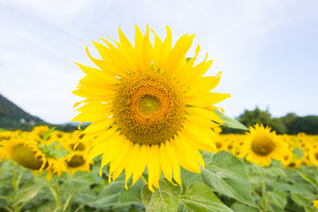 Closeup Beautiful of a Sunflower or Helianthus in Sunflower Field, Bright yellow sunflower Lopburi, Thailand