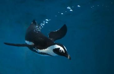 Penguin swimming underwater in blue water