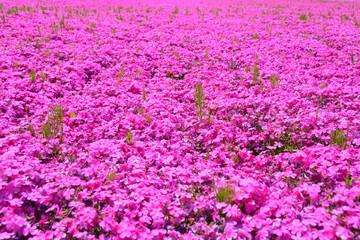 花 flower 芝桜