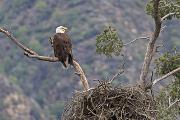 Bald eagle on tree limb perch overlooking nest