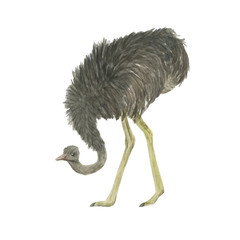 Watercolor painting ostrich isolated on white