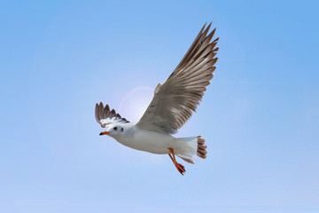 White Seagull flying on blue sky background. Freedom concept.