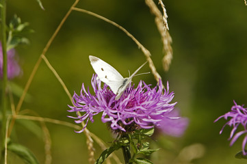 Close up of pink flower with small white butterfly - cabbage white (Pieridae) Spain