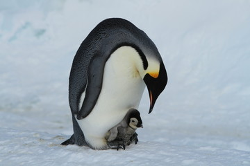 Emperor penguins(aptenodytes forsteri)Chicks in colony on the sea ice of Davis sea,Eastern Antarctica