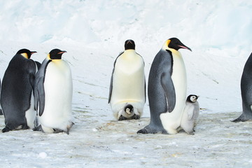 Emperor penguin (aptenodytes forsteri)with a chick in the colony of the Haswell, East Antarctica