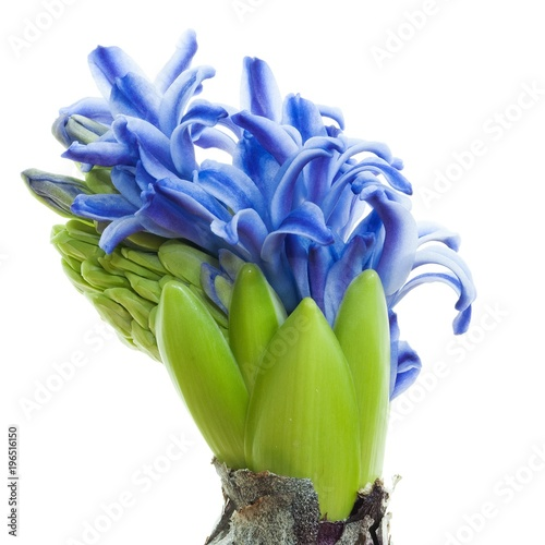 Green Bulb Plant With Blue Flowers Stock Photo And Royalty