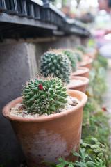 Cactus in small pot