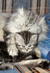Small scottish fold kitten with mother cat