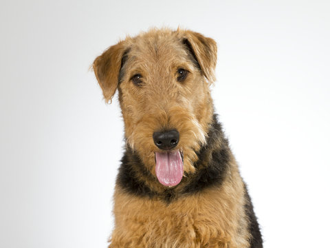 Airedale terrier puppy portrait. Image taken in a studio with white background.