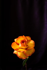 Yellow and orange rose on black