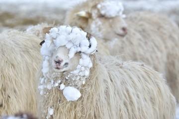 Fond de hotte en verre imprimé Sheep A sheep looks into the camera on a winter day