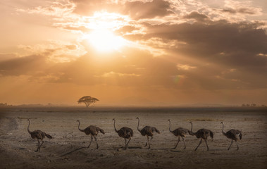 Ostriches at sunset in Amboseli National Park, Amboseli, Rift Valley, Kenya