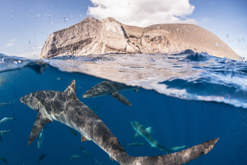 Sharks swimming close to surface of sea, Socorro, Baja California