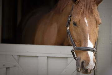 Portrait of a brown and white horse looking out of a stable door while wearing a bridle.