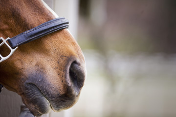 Nose of a brown horse.