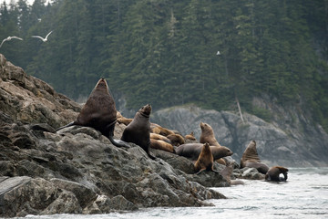 Sea lions sitting on a rocky shoreline with a forest in the background