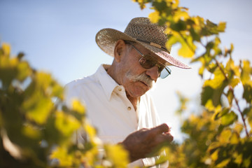 Farmer scrutinising vineyard.