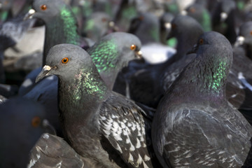 view of a flock of pigeons through the eyes of one of them; birds look in one direction, focus on the nearest pigeon.