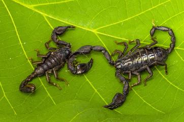 Due scorpioni che combattono tra loro