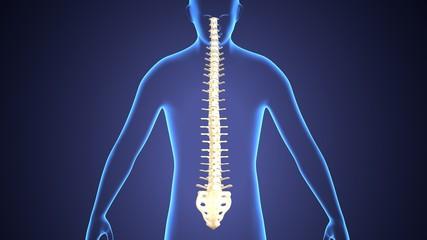 3d render of human skeleton anatomy