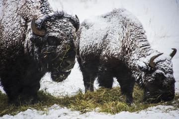 Fotorolgordijn Bison Genesee Bison