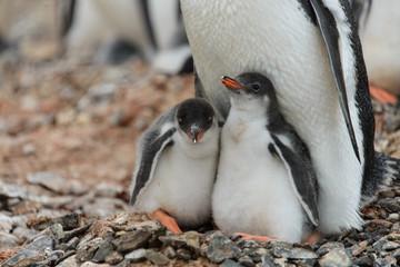 Two gentoo penguin's chicks in nest