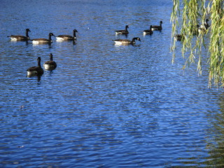 Birds and Pond - Swimming geese on a blue lake with copy space below.
