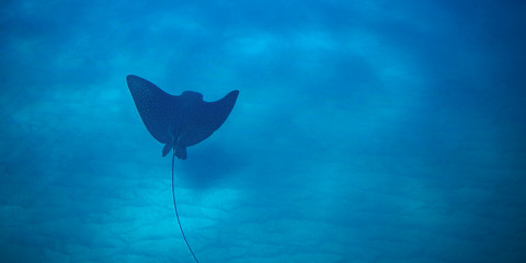 Spotted Eagle Ray gliding over sandy ocean floor