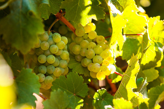 Close-up of two Bunches of white Wine Grapes on a Vine with green Leafs on a sunny Day in Stellenbosch, South Africa