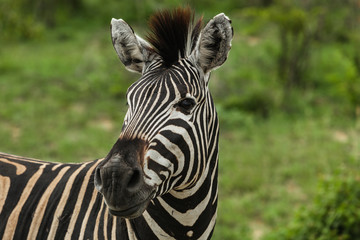 Close-up Portrait of a Zebra in Kruger National Park, South Africa