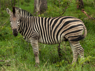 A Zebra, surrounded by Green, looks into Camera in Kruger National Park, South Africa
