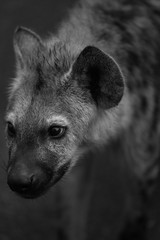 Close-up of a Spotted Hyena in Kruger National Park, South Africa - Black and White